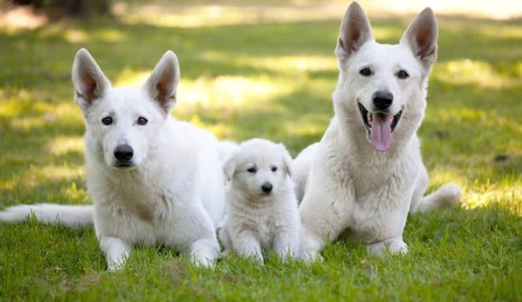 German Shepherd Dog Breed Information 8