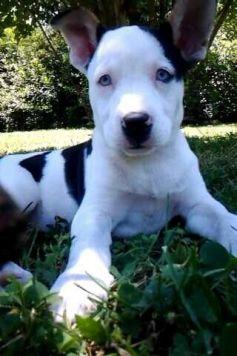 Dog Breed Pitsky