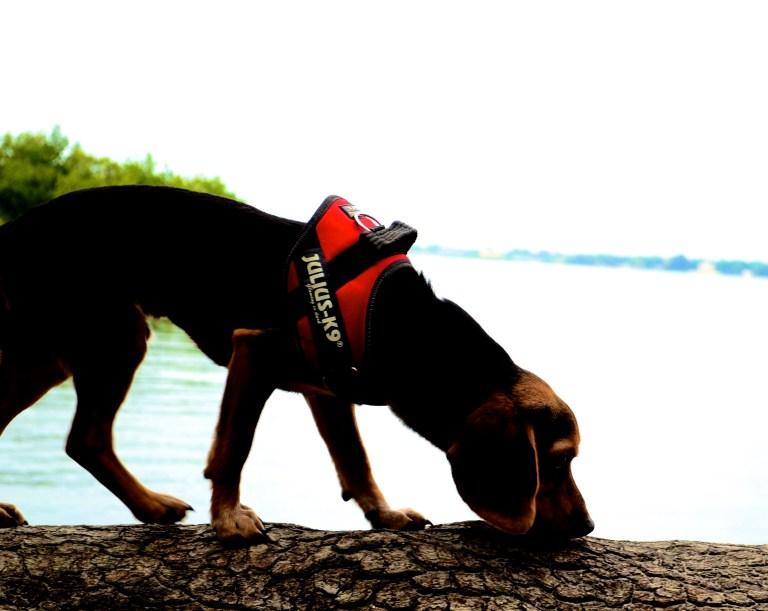 Columbo chien détection canine des punaises de lit dogtector