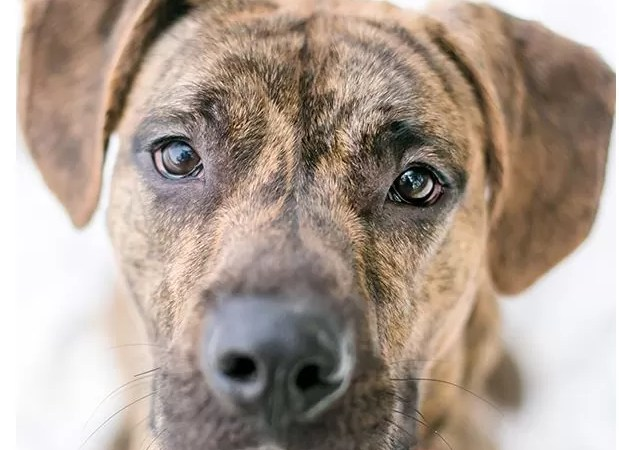 Brindle Pitbull – Top Facts And Characteristics, Detail