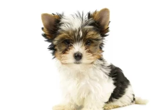 Biewer Terrier: Dog Breed Information Size, Temperament