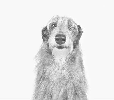 Scottish Deerhound: Temperament Size Health