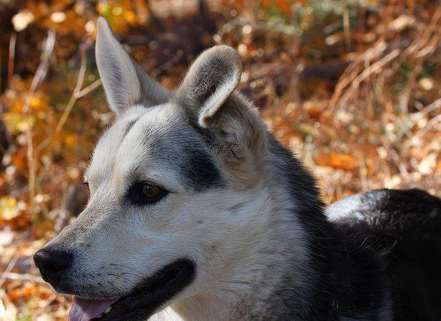 Gerberian Shepsky: German Shepherd, / Husky Mix!