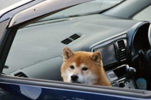 今日のワン言 車酔いを克服したい飼い主さんへ 通ってしつけ 犬の