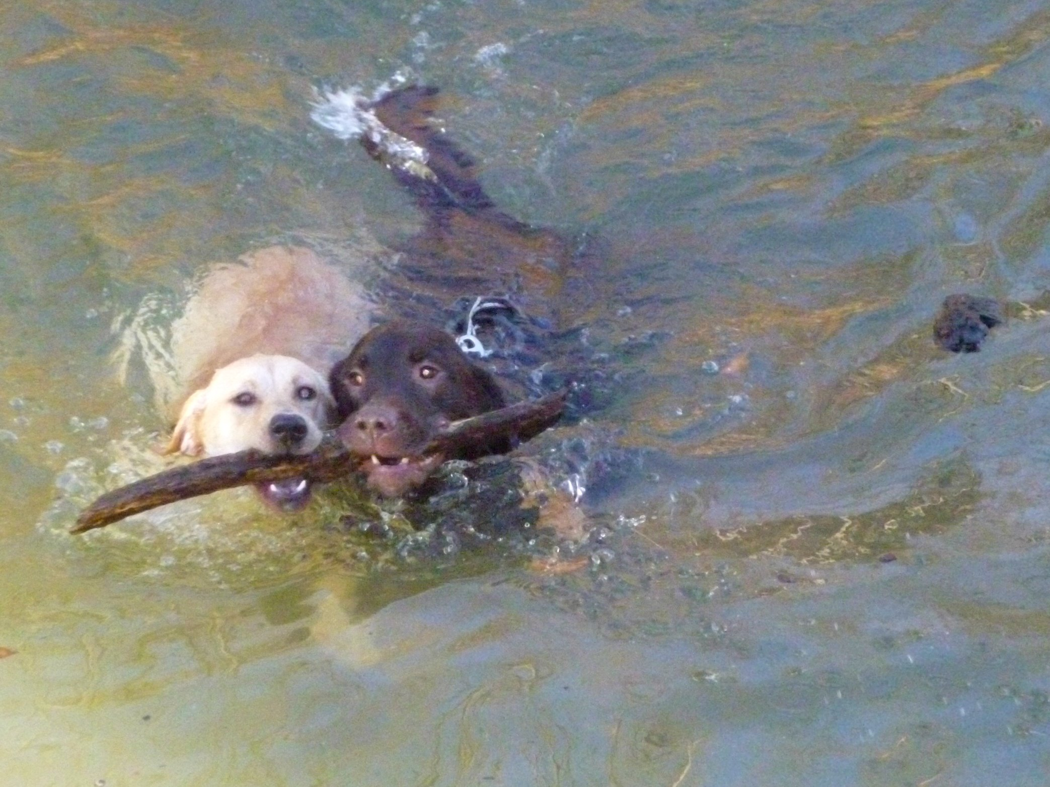 dogs in creek with stick dogtrotting.net