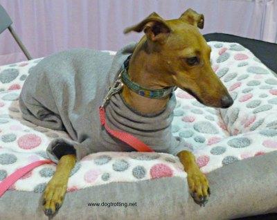 Iggy Joey Italian Greyhound