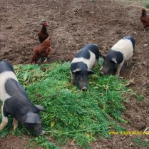 Pigs at Dog friendly Shaker Village Kentucky dogtrotting.net