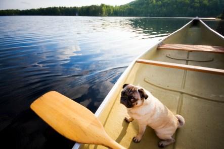 Pug in canoe
