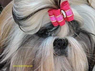 pomeranian at dog show