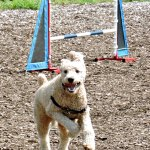 agility dog at Stouffville's Mutt Masquerade 2017 dogtrotting.net