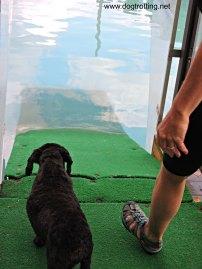 Victor swimming at K9 Fun Zone dogtrotting.net