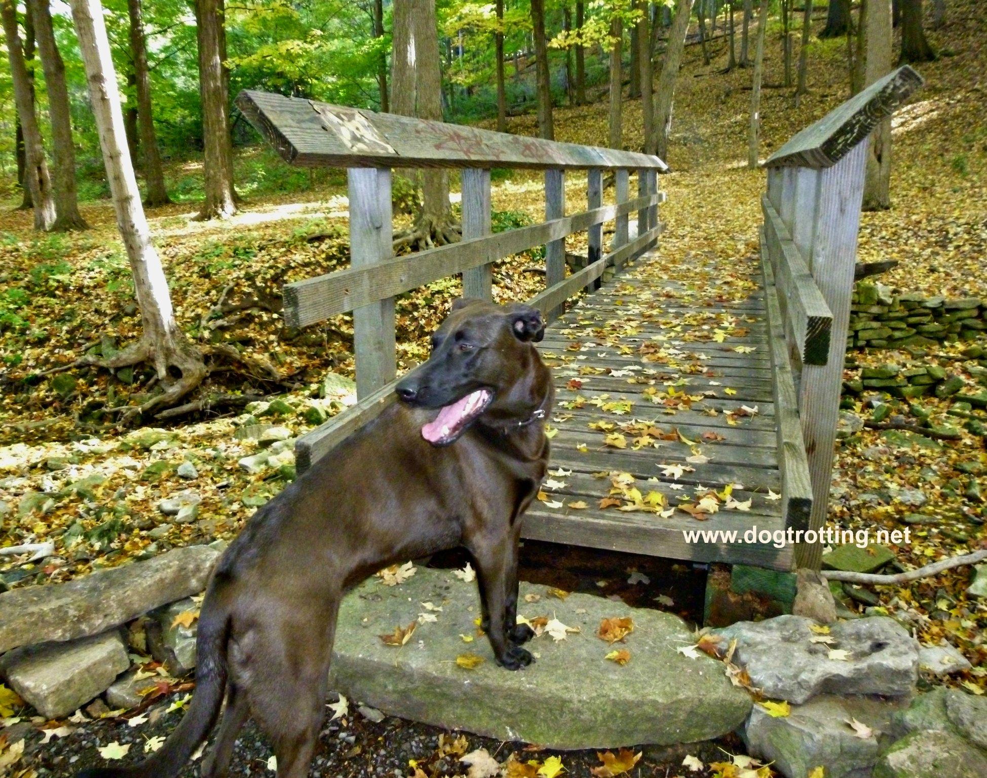 brown dog at bridge along fall trail dogtrotting.net