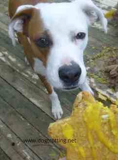turmeric dog treats dogtrotting.net