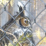 Captive Owl at Mountsberg Conservation Area, Campbellville Ontario