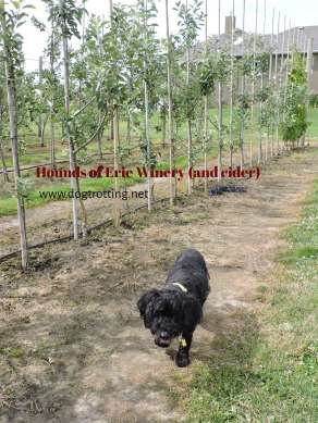 among the apple trees at Hounds of Erie Winery