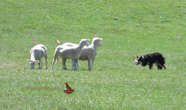 sheep dog herding in kingston ontario