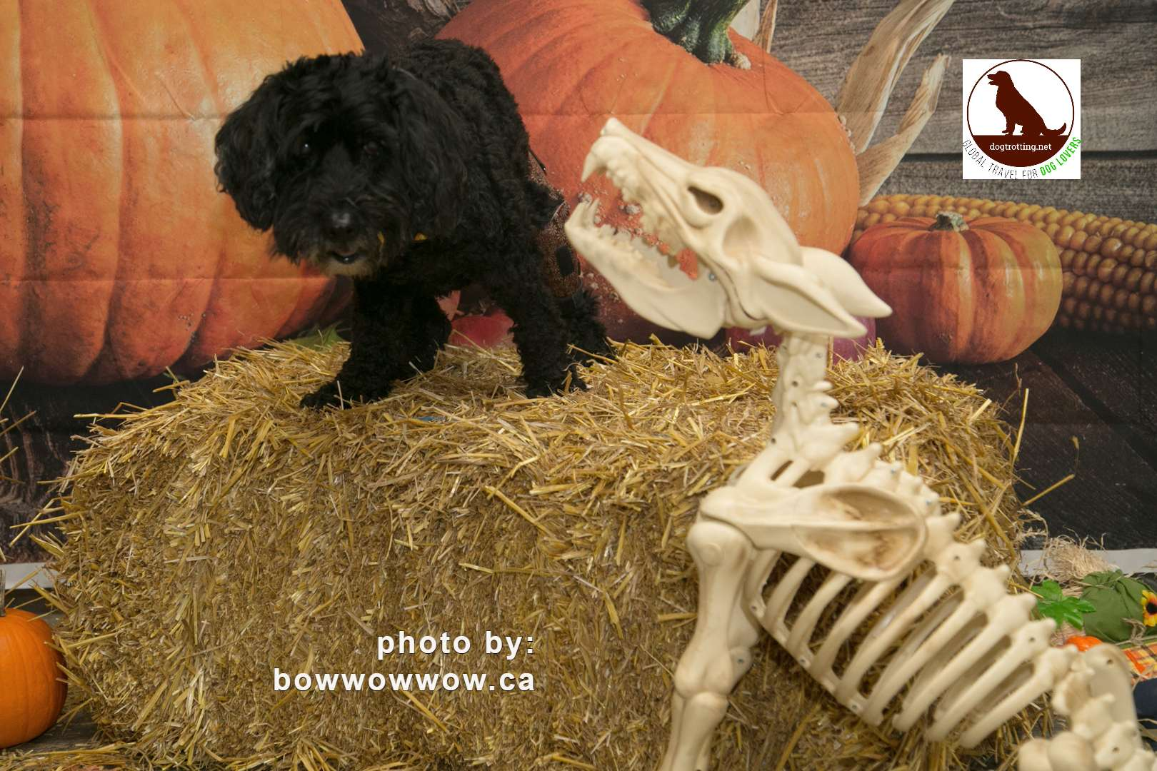 cute black dog with pumpkin and skeleton dog