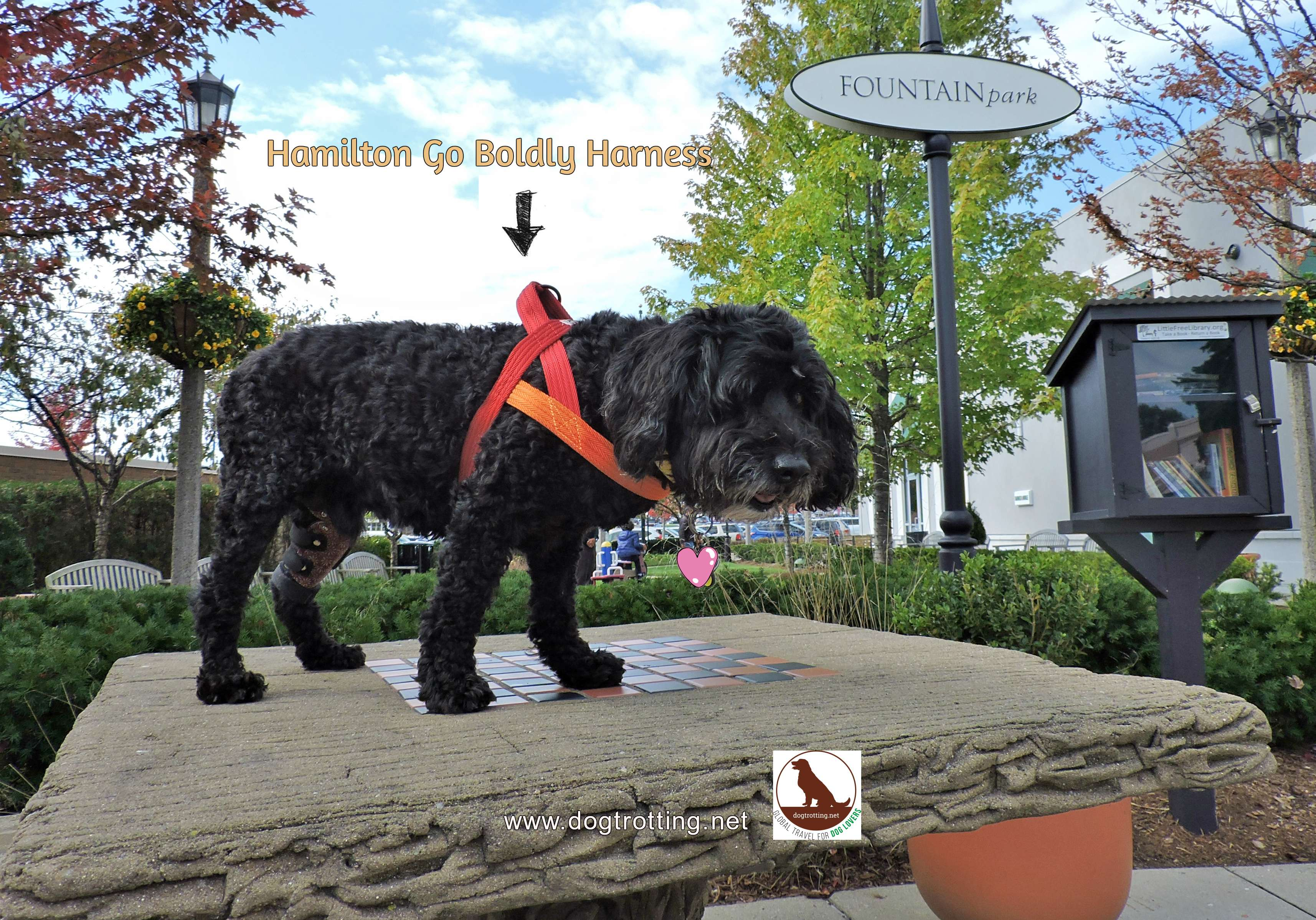 my beautiful black terrier modeling the Hamilton Go Boldly dog harness