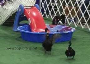 ducks in kiddie pool during dog duck herding demonstration