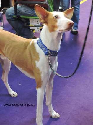 Purebred Benji dog at Westminster Dog Show 2020