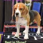 beagle puppy at Westminster Kennel Club Dog Show 2020