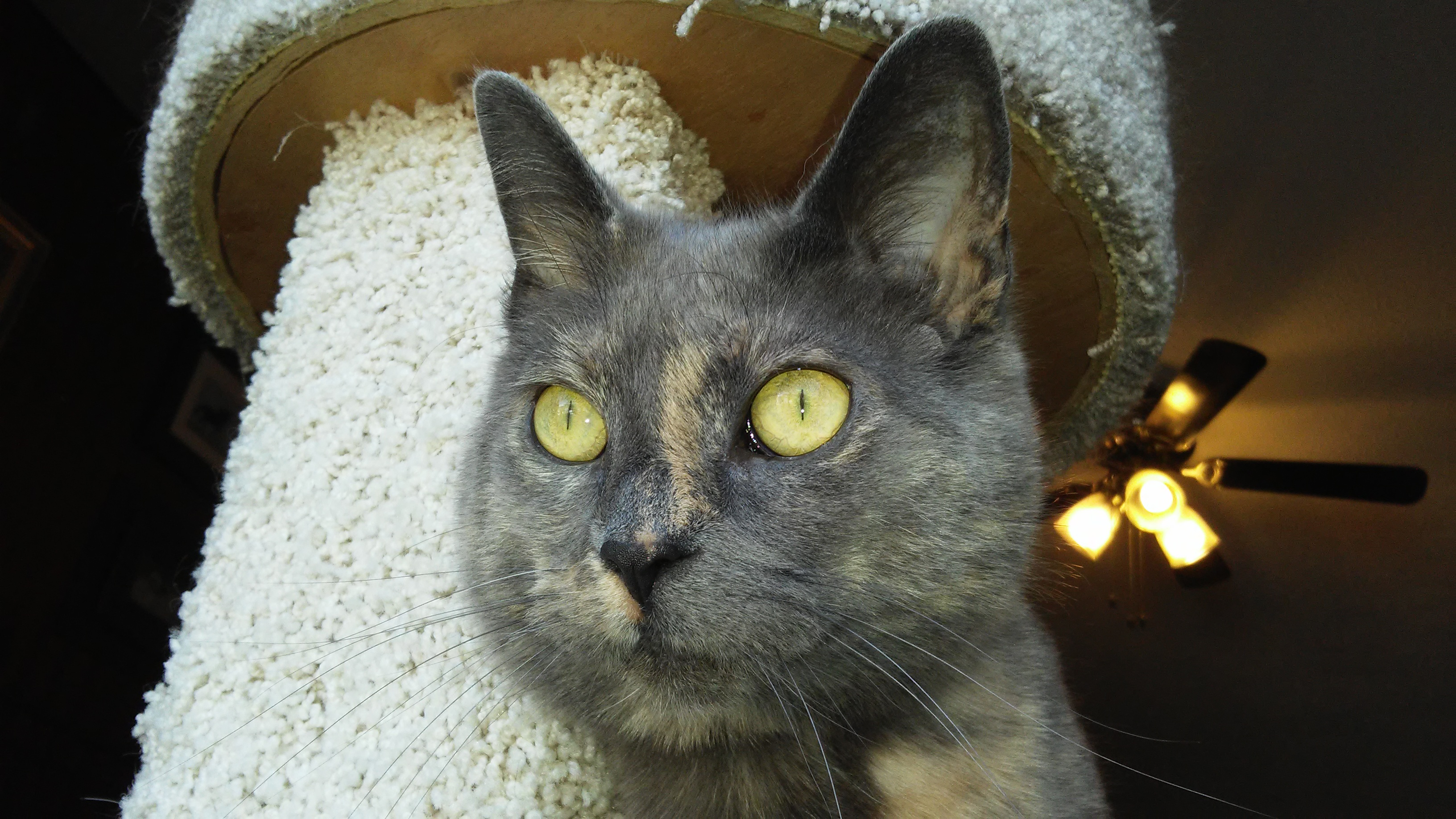 face of muted torti-print cat