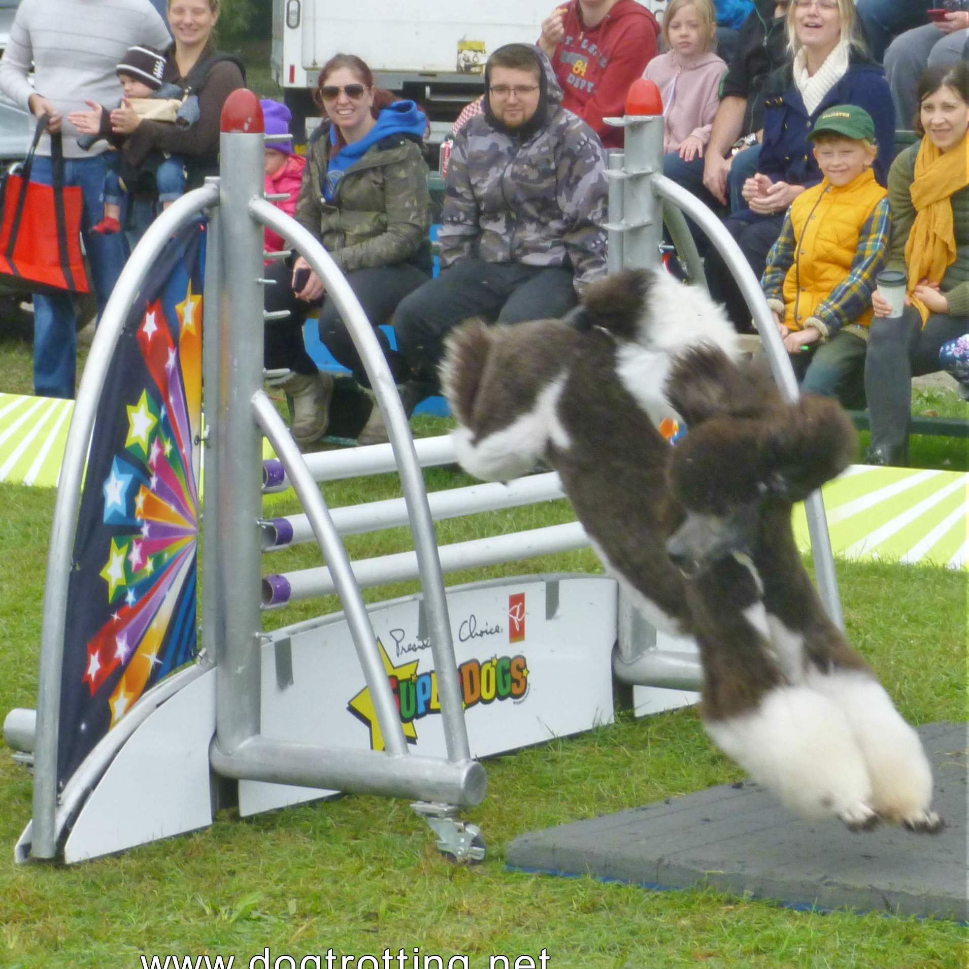 President's Choice SuperDogs brown and white poodle jumping hurdles
