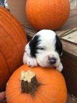 puppy with pumpkin