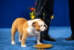 Thor, 2019 National Dog Show Best in Show