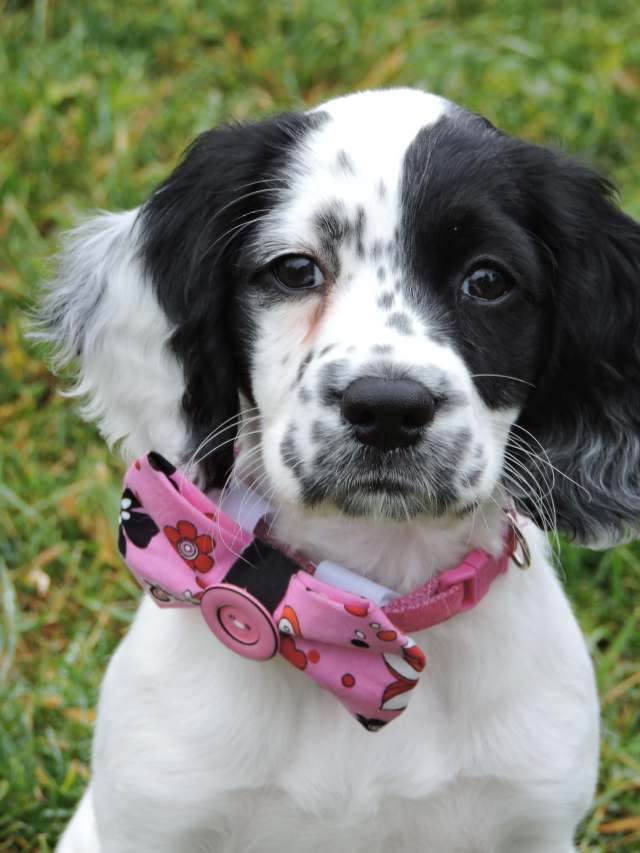 White and black Sprocker puppy