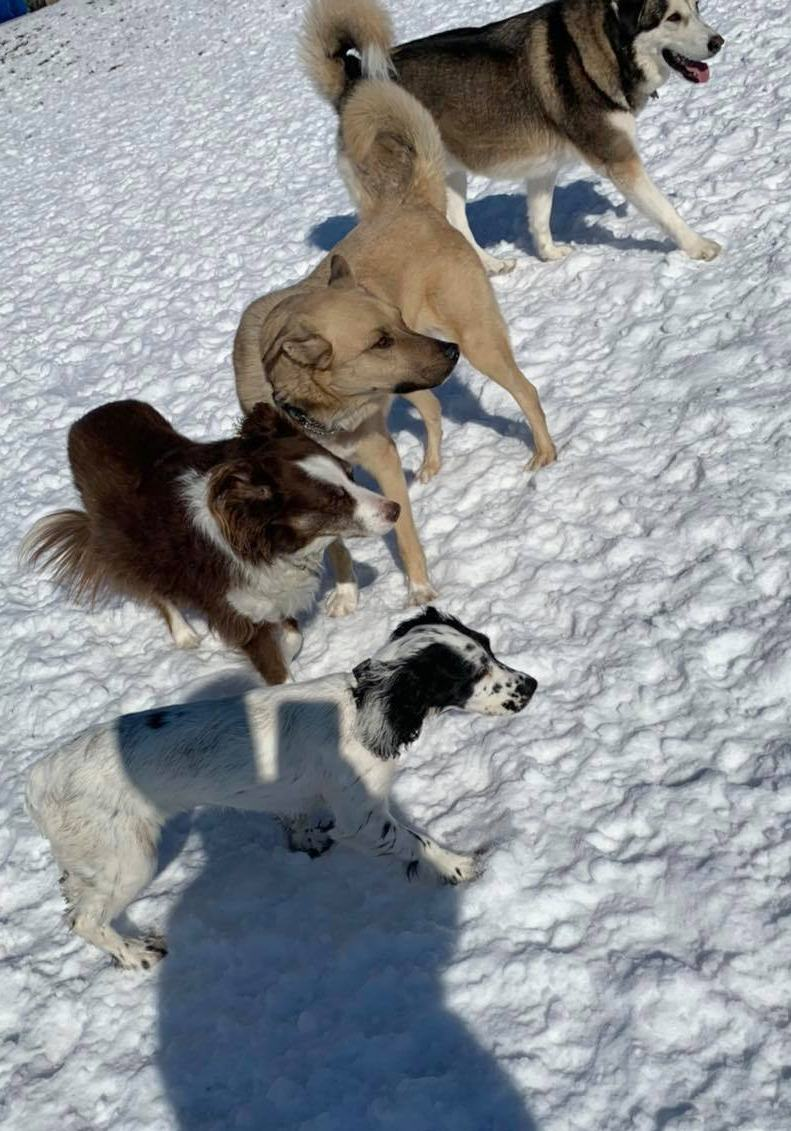 dogs playing in the snow at doggie daycare