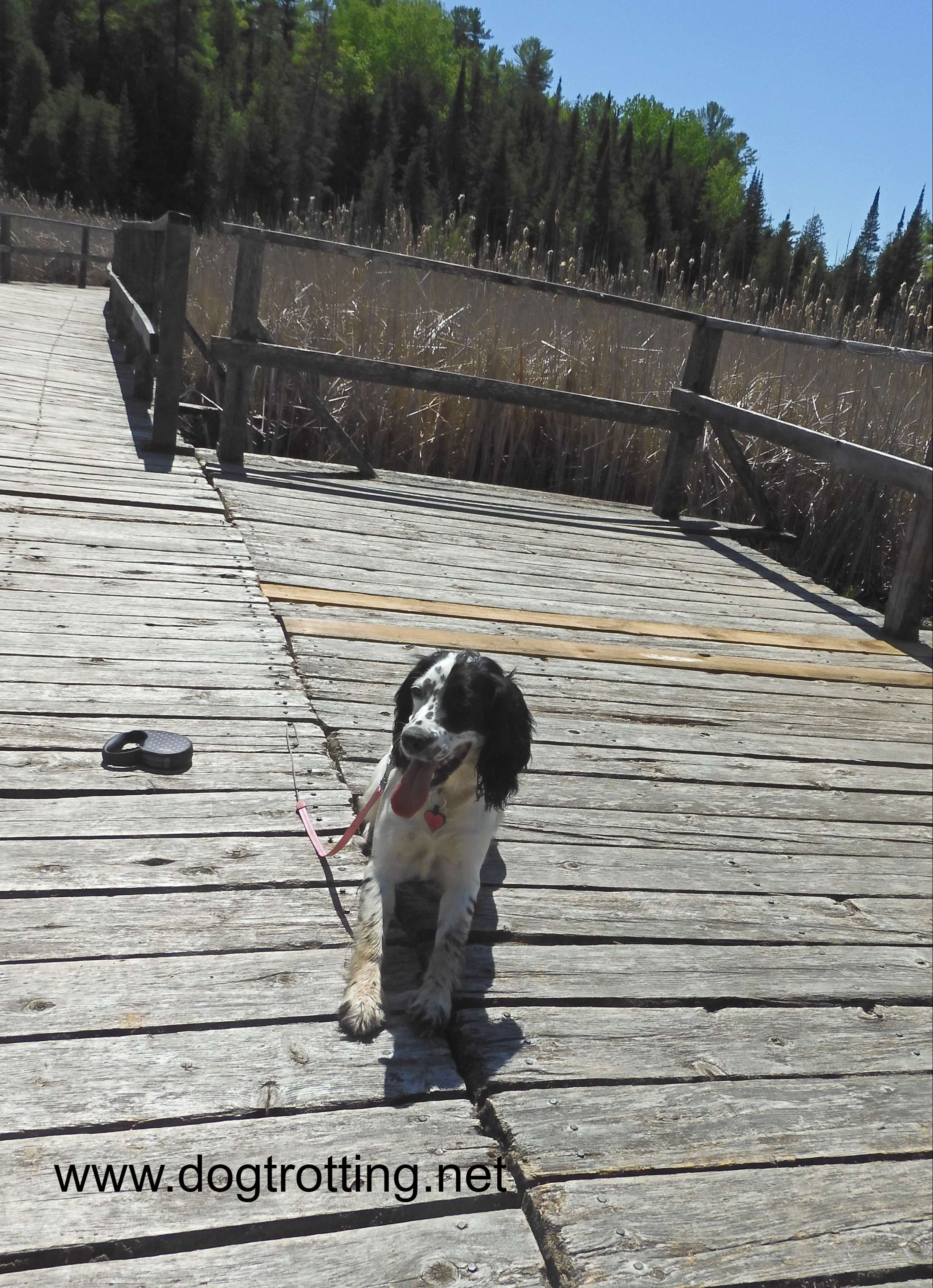 black and white dog sitting on board walk in marshlands