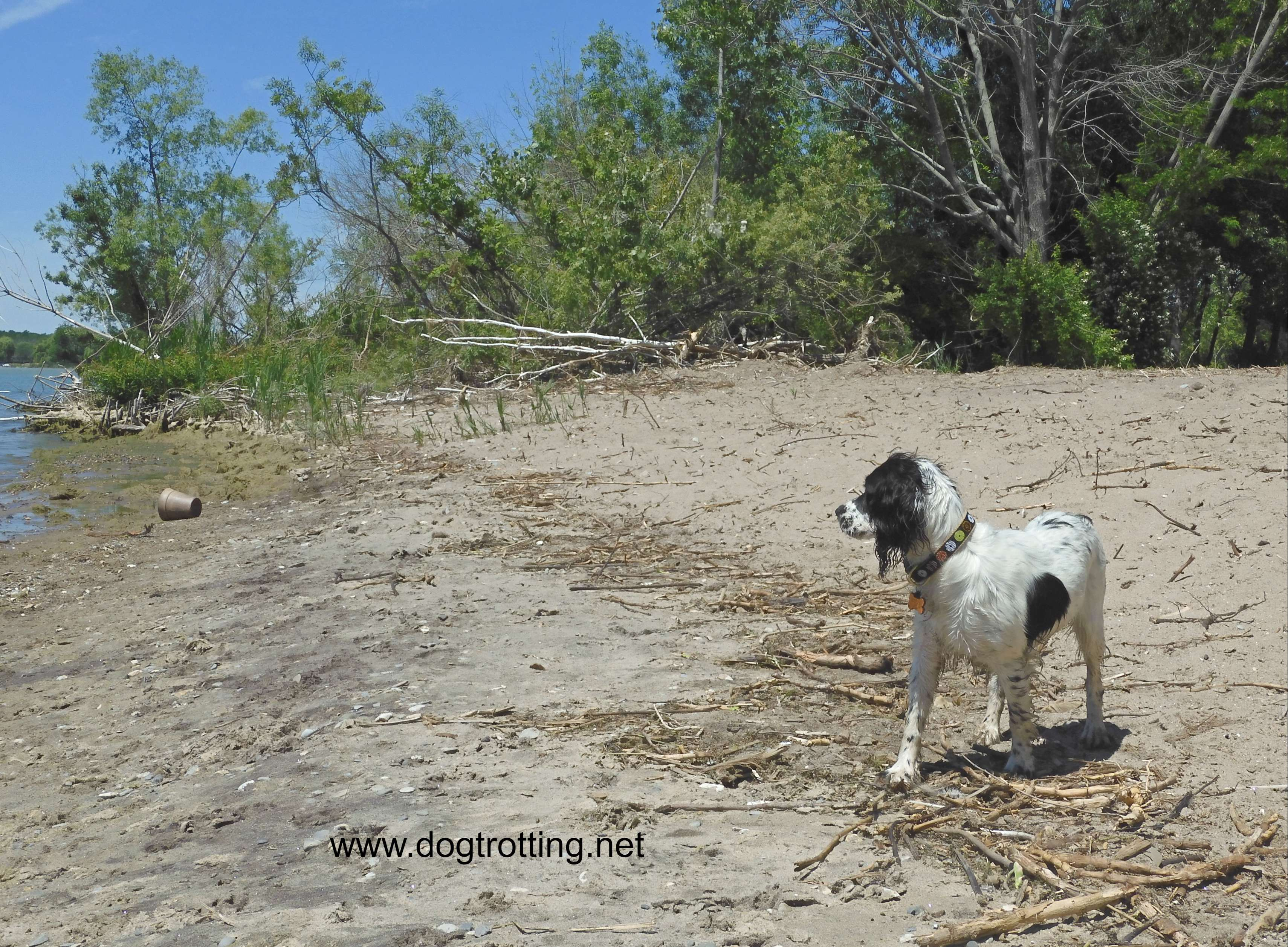 small white and black dog running on dog beach at Selkirk Provincial Park, Ontario, Canada