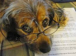 Dog studying and wearing glasses