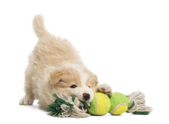 puppy with a toy