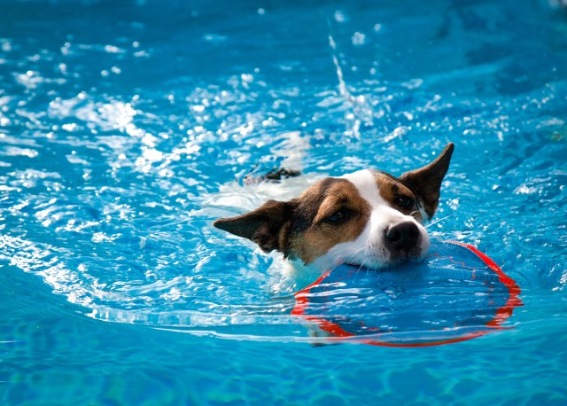 A dog parent can keep a dog safe swimming in the pool