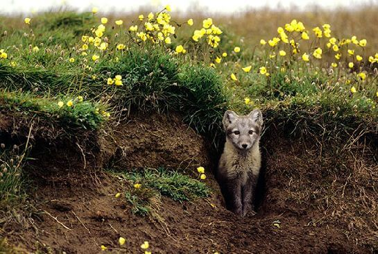 Arctic Foxes Grow Their Own Beautiful Gardens