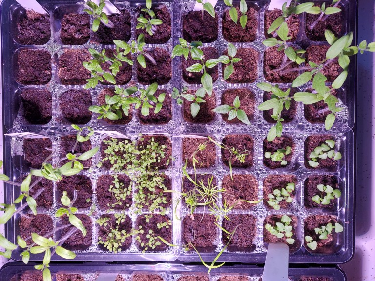plant seedlings under grow light