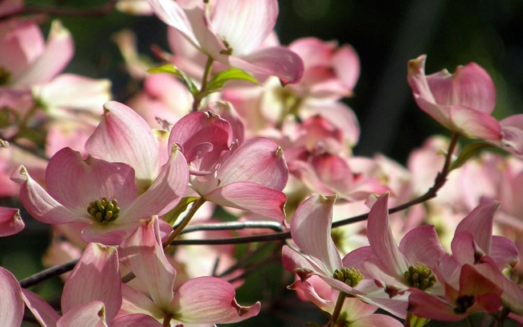 Pink Kousa Dogwood