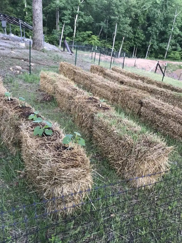 Try this easy vegetable gardening method for beginners using straw bales