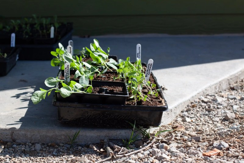 Make seedlings strong and helahty by hardening them off