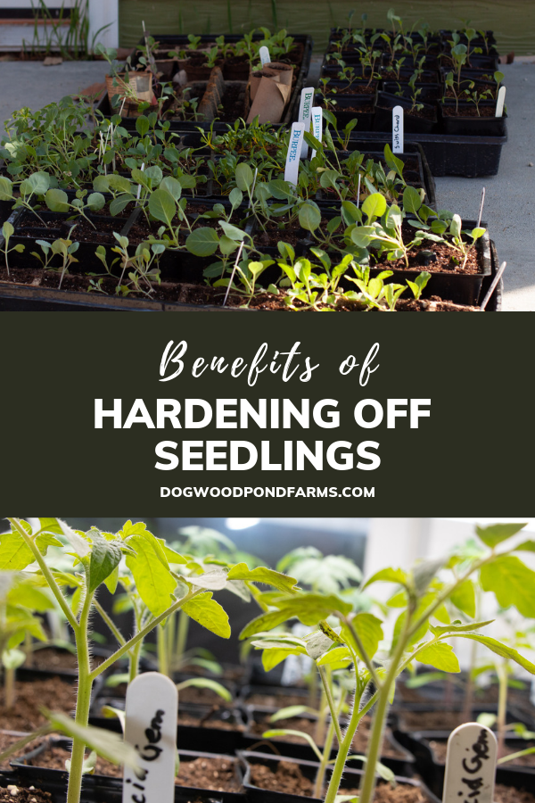 Make sure to harden seedlings before planting them in the garden