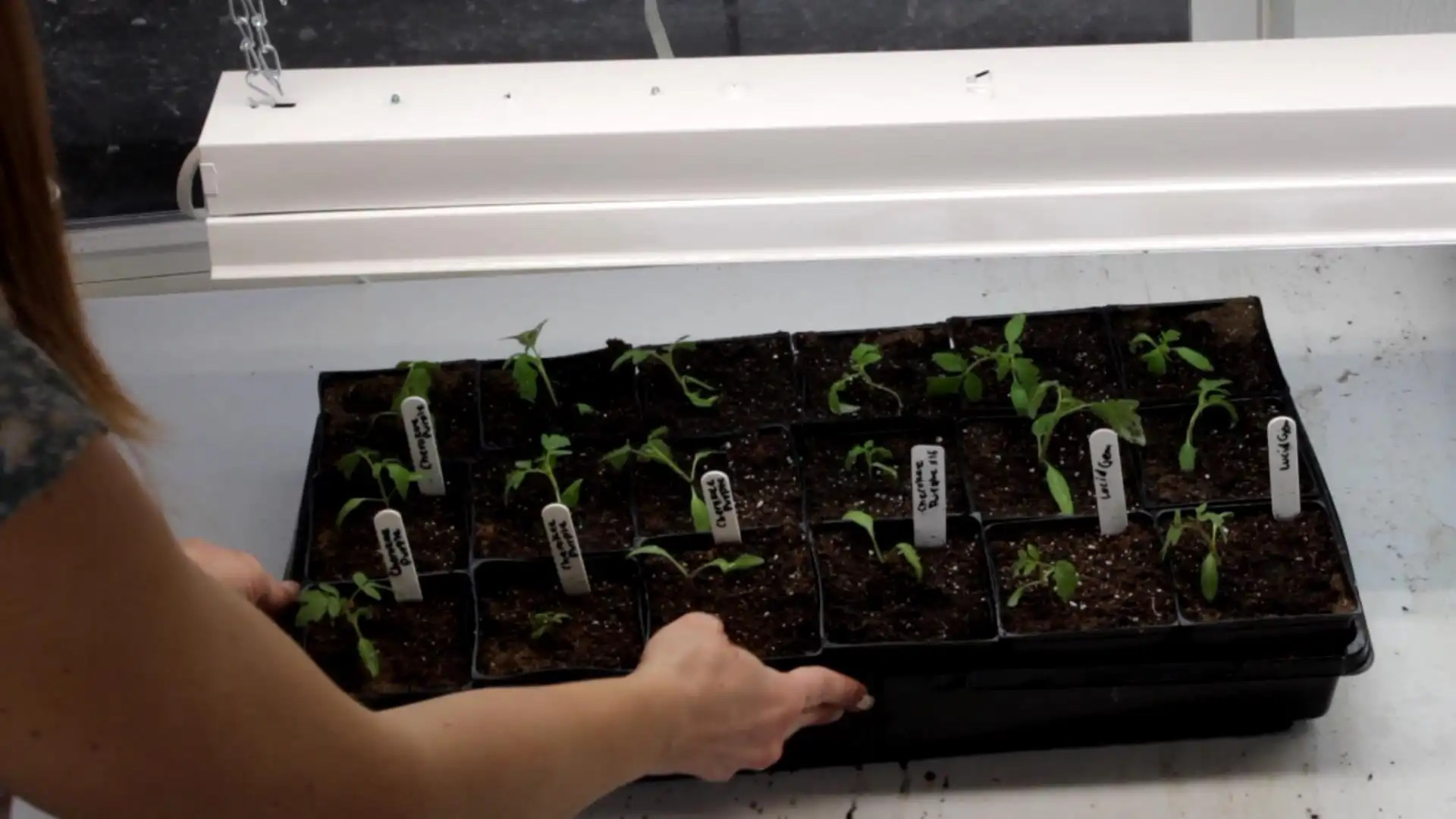 how to transplant seedlings