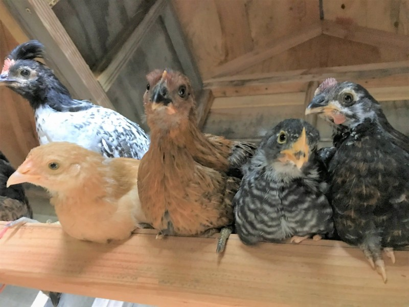 Roosting bars are a backyard chicken essential in your coop