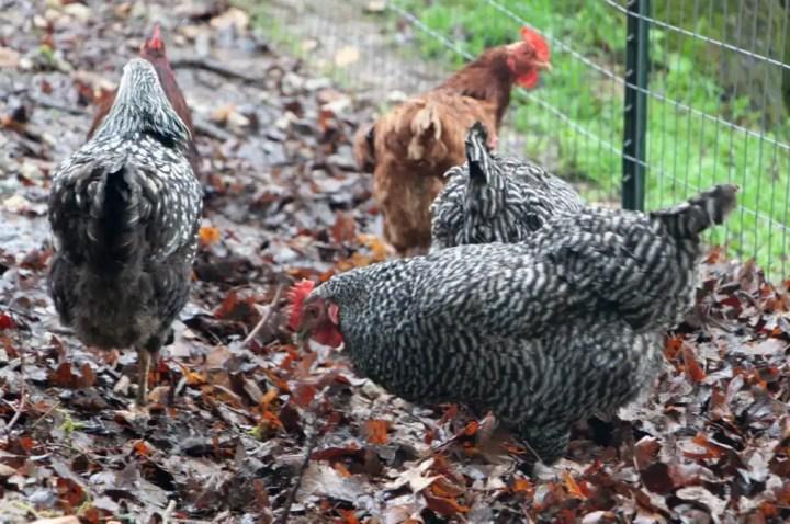 Benefits of Raising Backyard Chickens
