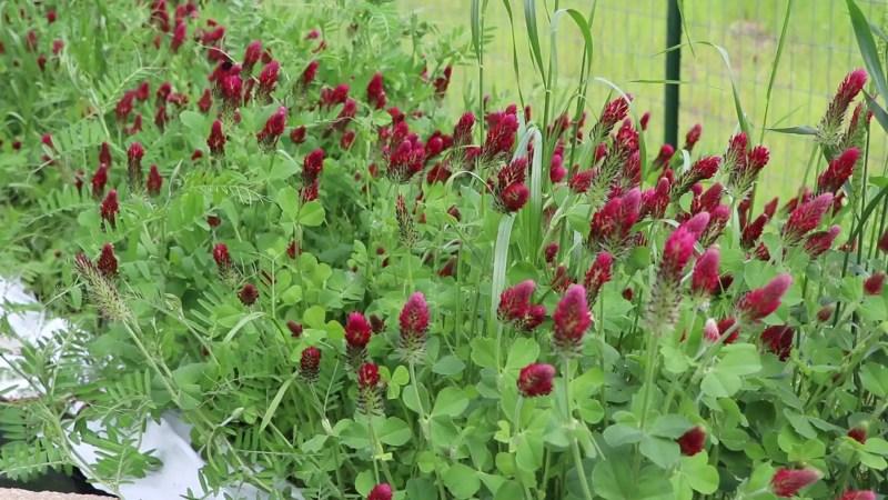 Crimson clover as a cover crop for no till garden