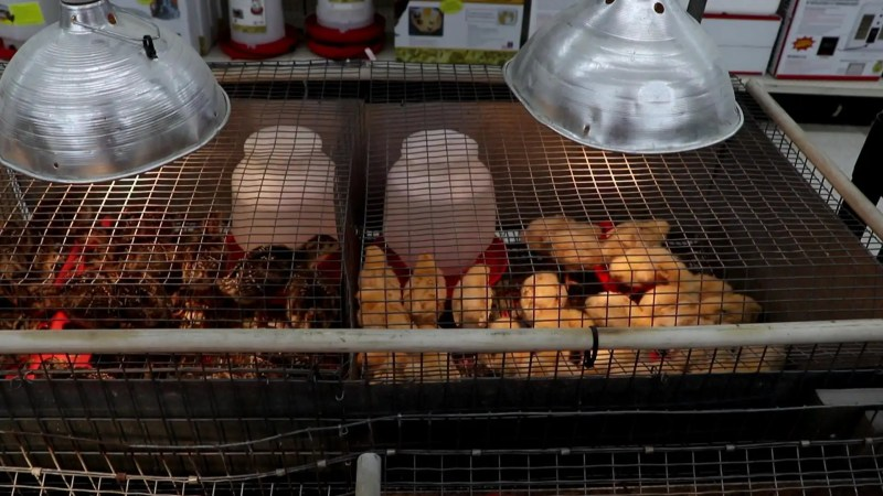Raise and care for backyard chickens with these easy steps