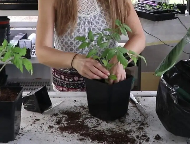 why you should transplant tomatoes to larger pots