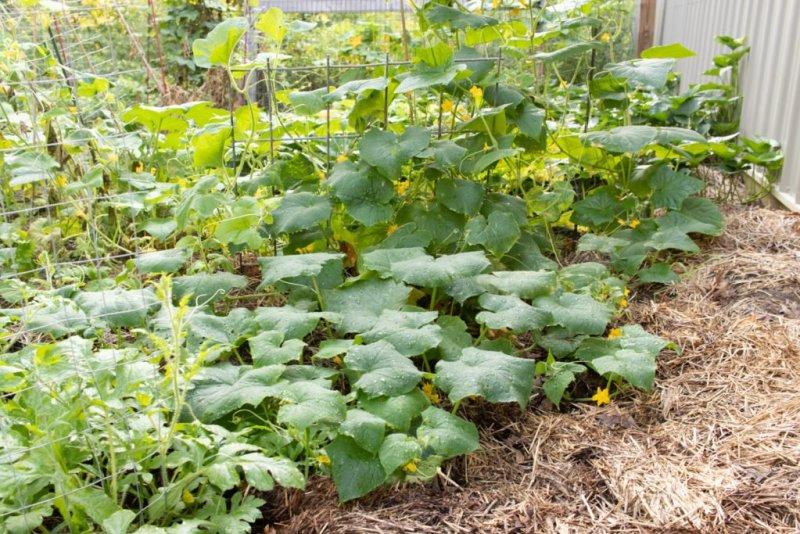 Mulch in the vegetable garden