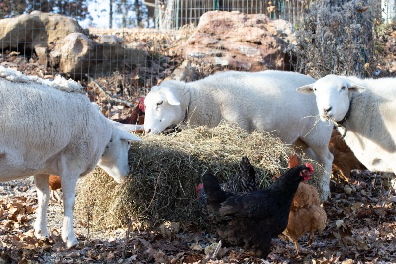 Hay makes good vegetable garden mulch